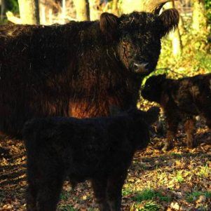 Galloways 4